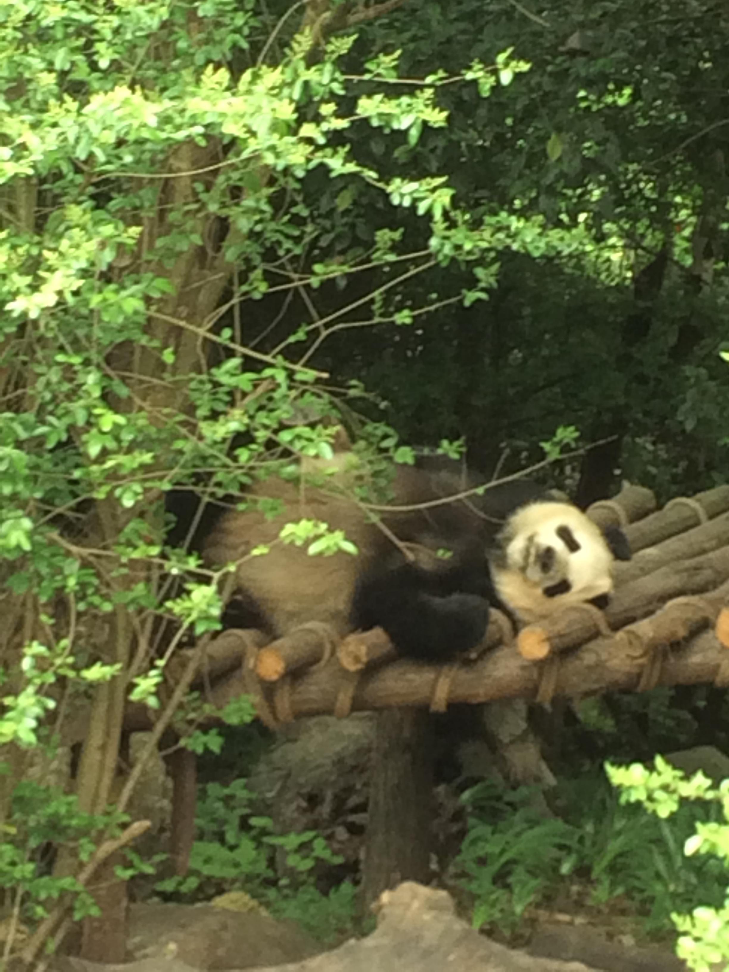 Les Ferry en Chine – Chengdu- 4/5 – les pandas